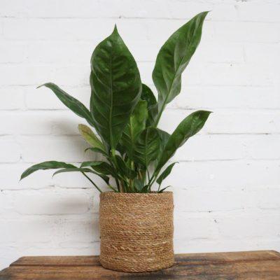 Pflanze passt gut in Topf