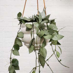 Hängepflanze Hoya